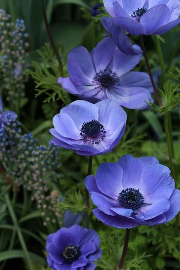 fantastische-blumen-anemonen-in-lila