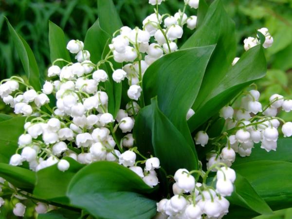 fantastische-blumen-frühlingsdeko-frühlingsblumen-in-weiß-im-garten-