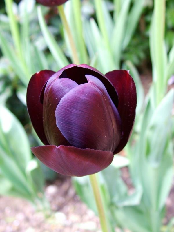 foto-von-einer-sehr-schön-aussehenden-schwarzen-tulpe