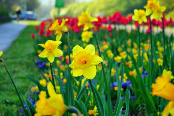 frühlingsblume-narzissen-pflanzen-gelbe-blumen-