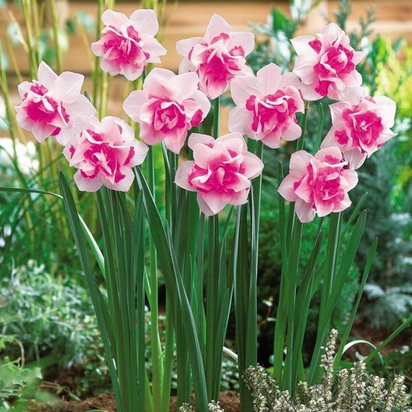 frühlingsblume-narzissen-pflanzen-gelbe-blumen-in-rosa