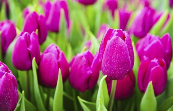 fruehlingsblume-bilder-tulpen-pflanzen-die-tulpe-tulpen-aus-amsterdam-tulpen-bilder-tulpen-kaufen