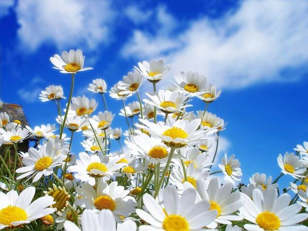 gänseblumen-weiß-und-gelb-schöne-frühlingsblume