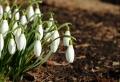 Schneeglöckchen – die erste Blume des Jahres!