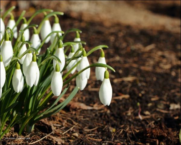 galanthus-nivalis-amaryllisgewächse-schneeweiße-blume-pflanzen--