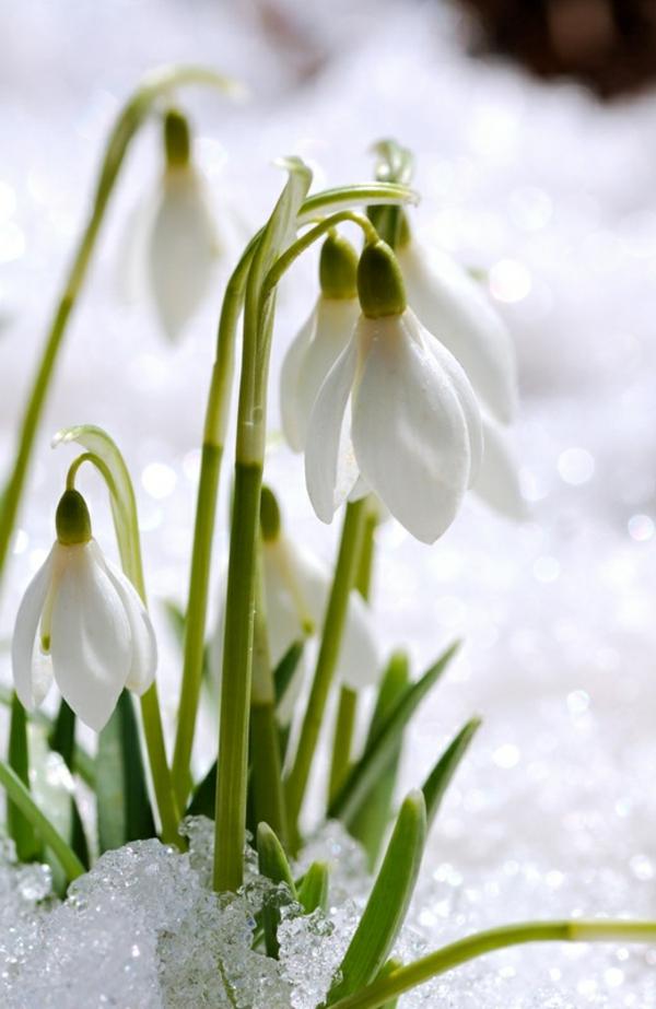 --galanthus-nivalis-amaryllisgewächse-schneeweiße-blume-pflanzen
