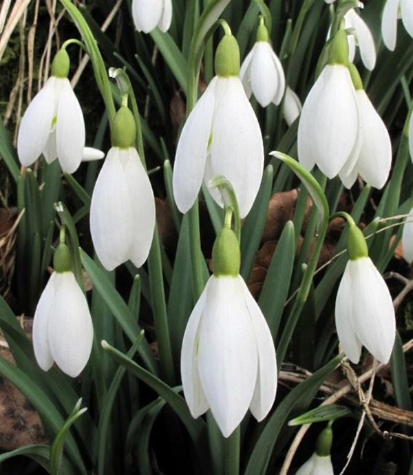 ---galanthus-nivalis-amaryllisgewächse-schneeweiße-blume-pflanzen
