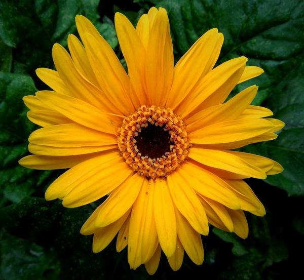 garten-gestalten-frühlingsblumen-gerbera-sommerblumen-in-gelb-