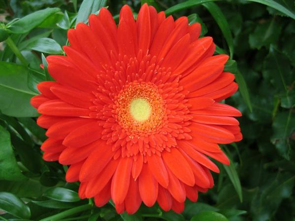 garten-gestalten-frühlingsblumen-gerbera-sommerblumen-in-rot