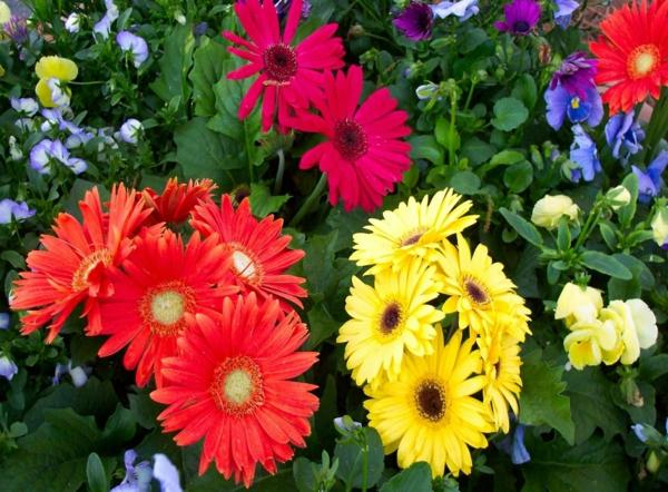 gartenblumen-garten-gestalten-frühlingsblumen-gerbera-sommerblumen