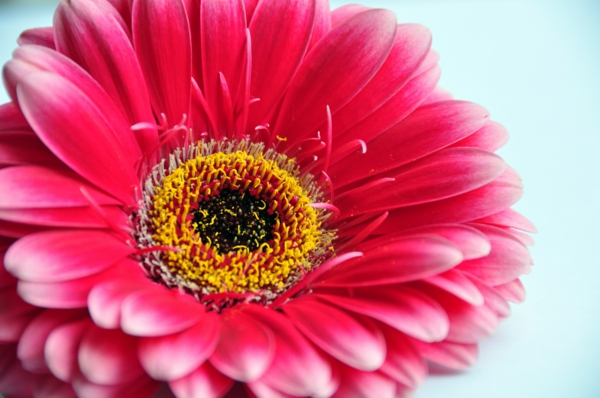 -gartengestaltung-mit-schönen-blumen-sommerblumen-gerbera-schnittblumen-zimmerpflanzen-