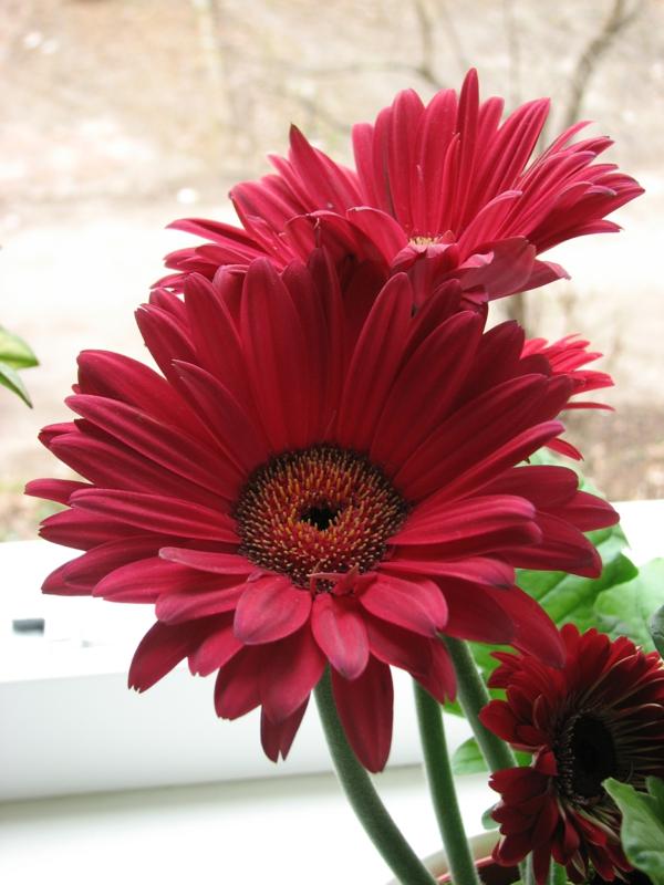 --gartengestaltung-mit-schönen-blumen-sommerblumen-gerbera-schnittblumen-zimmerpflanzen-