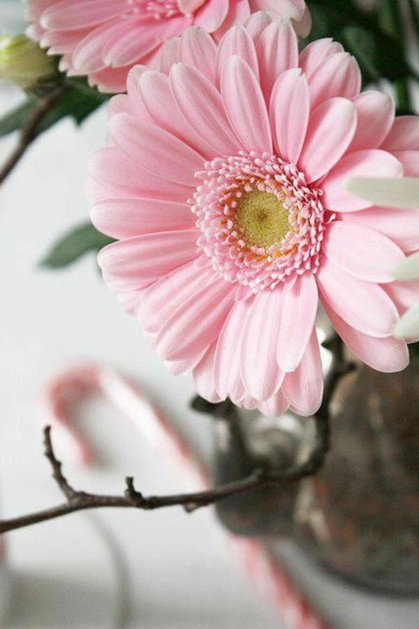 gartengestaltung-mit-schönen-blumen-sommerblumen-gerbera-schnittblumen-zimmerpflanzen-hellrosa