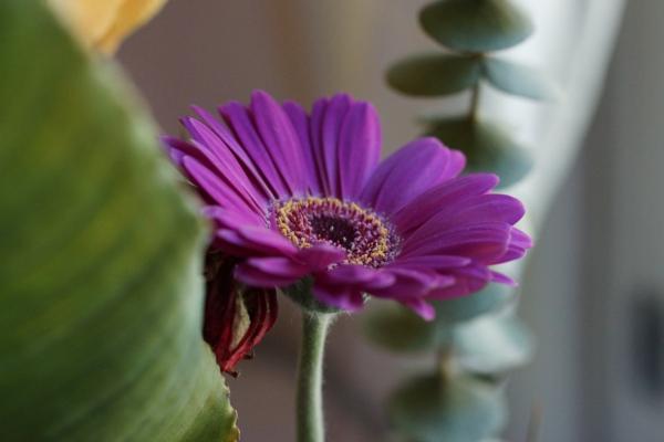 gartengestaltung-mit-schönen-blumen-sommerblumen-gerbera-schnittblumen-zimmerpflanzen-lila