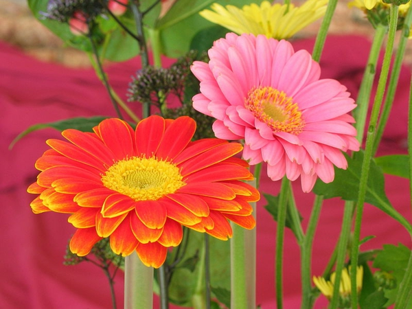 gartengestaltung-mit-schönen-blumen-sommerblumen-gerbera-schnittblumen-zimmerpflanzen-orange-rosa