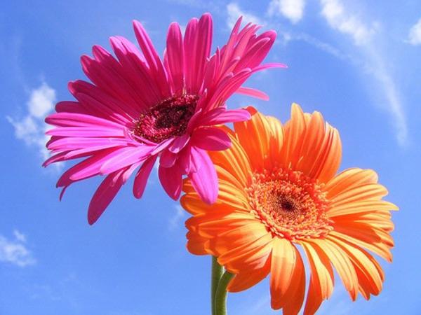 gartengestaltung-mit-schönen-blumen-sommerblumen-gerbera-schnittblumen-zimmerpflanzen-rosa-orange