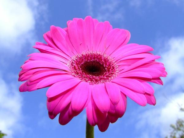 gartengestaltung-mit-schönen-blumen-sommerblumen-gerbera-schnittblumen-zimmerpflanzen-rosa