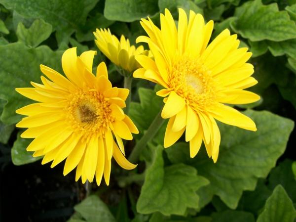 gartengestaltung-mit-schönen-blumen-sommerblumen-gerbera-schnittblumen-zimmerpflanzen