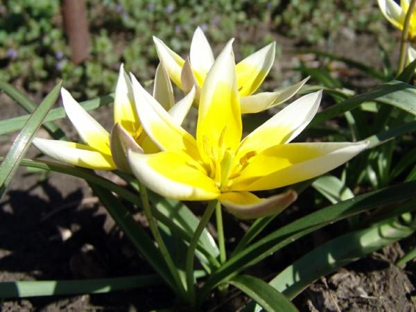 gelbe Frühlingsblumen im Blumenbeet