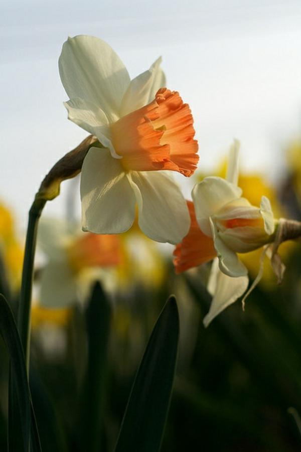 gelbe-narzisse-gartenpflanzen-deko-für-den-garten-frühlingsblumen-