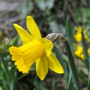 Die Narzissen - sonnige Frühlingsblumen !