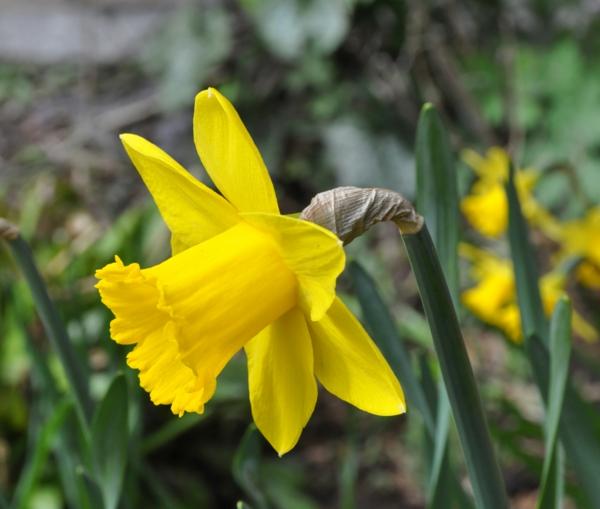 gelbe-narzisse-gartenpflanzen-deko-für-den-garten-frühlingsblumen