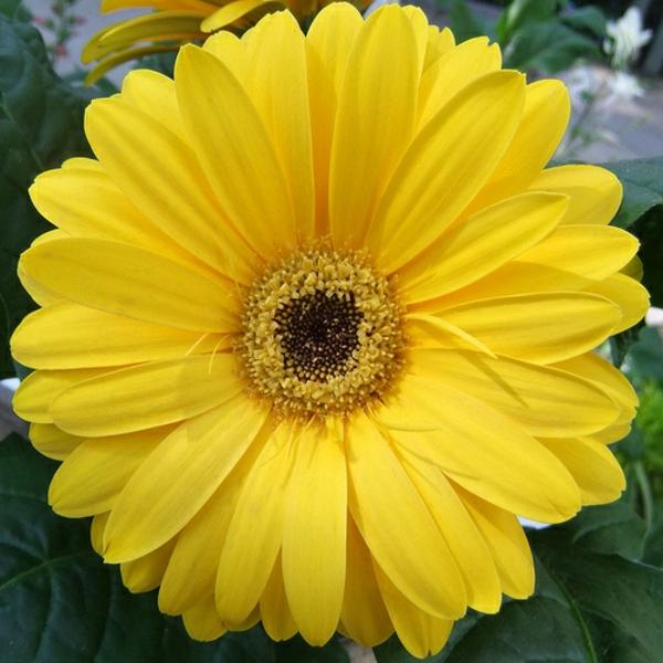 gelbe-schnittblumen-zimmerpflanzen-gerbera-mehrere-farben-blumen-für-zuhause