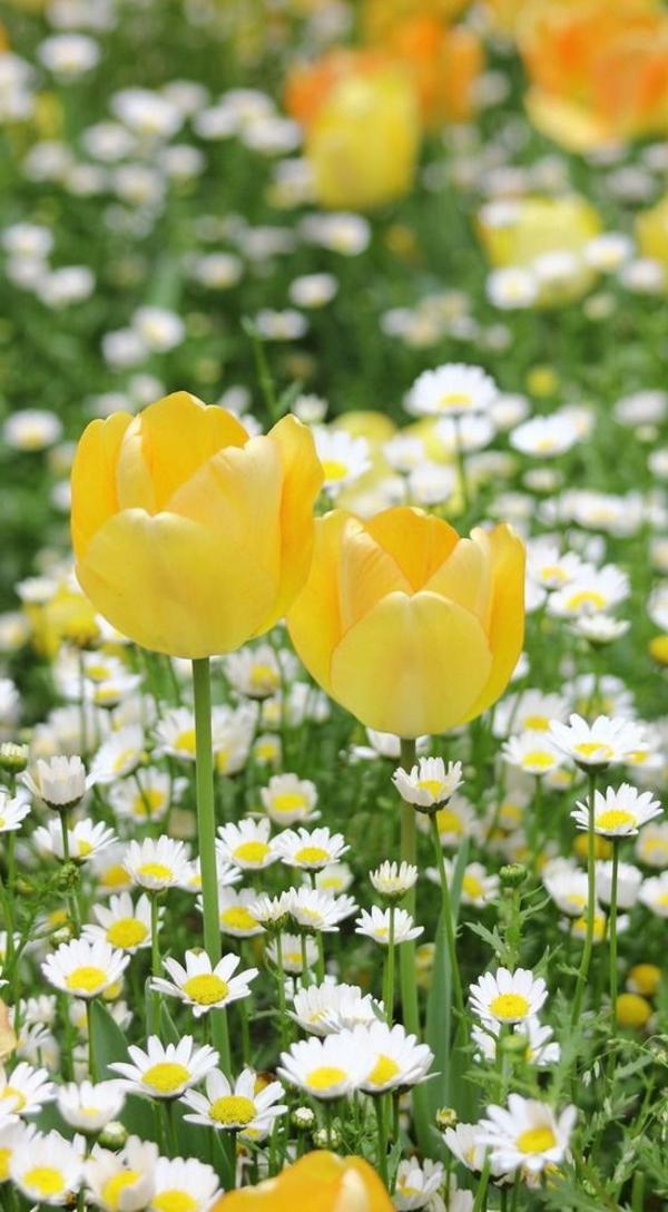 gelbe-tulpen-pflanzen-die-tulpe-tulpen
