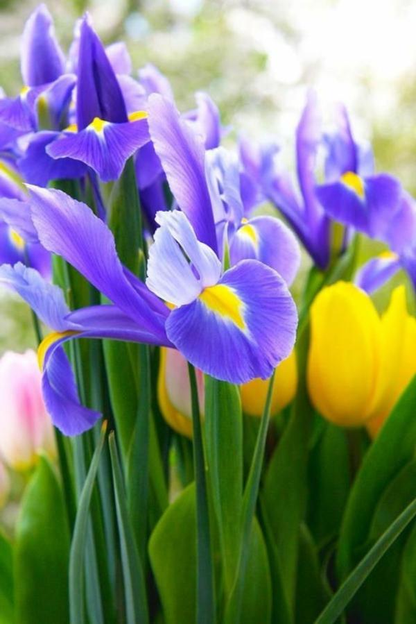 gelbe---tulpen-pflanzen-die-tulpe-tulpen