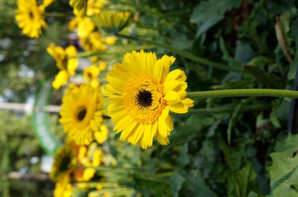 gelber-garten-gestalten-frühlingsblumen-gerbera-sommerblumen