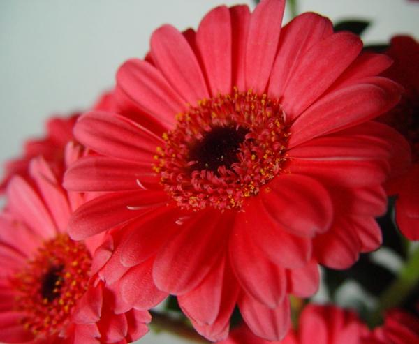 gerberas_fucsia-zimmerpflanzen-gerbera-mehrere-farben-blumen-für-zuhause