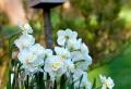 Die Narzissen – sonnige Frühlingsblumen !