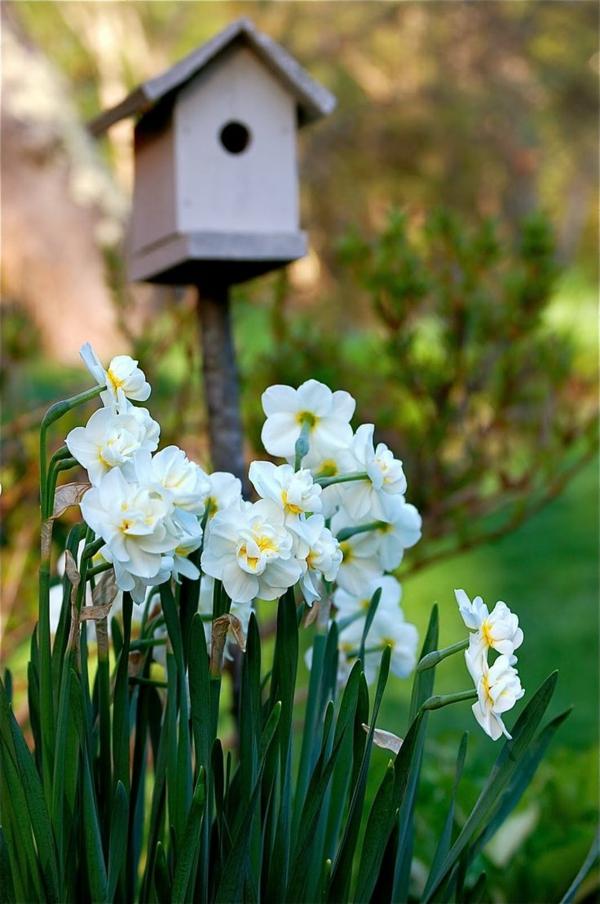 hübsche-weiße-narzisse-gartenpflanzen-deko-für-den-garten-frühlingsblumen-osterdeko