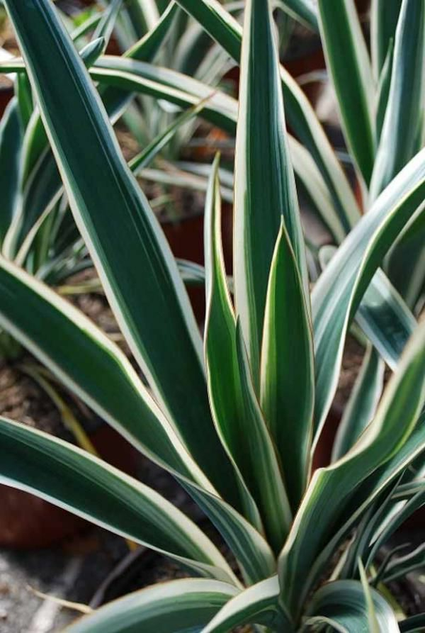 hauspflanzen-yucca-filamentosa-pflanzen-palmen--