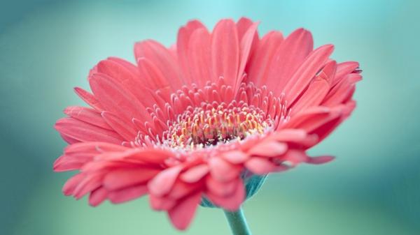 hellrosa-zimmerpflanzen-gerbera-mehrere-farben-blumen-für-zuhause