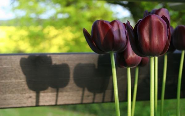 herrliches-foto-von-schwarzen-tulpen