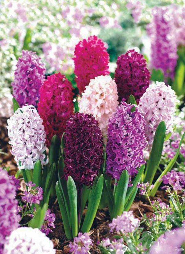 hyazinthen-blumen-gartenblumen-in-schöner-lila-farbe_