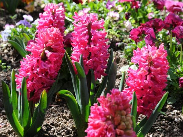 hyazinthen-mit-schöne-rosa-farbe