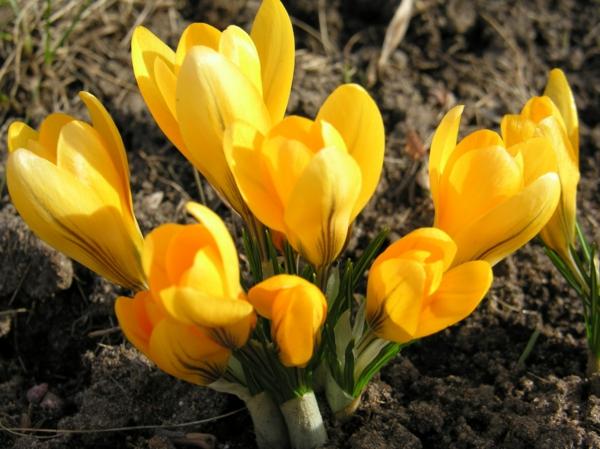 krokus-in-gelber-frühlingsblume