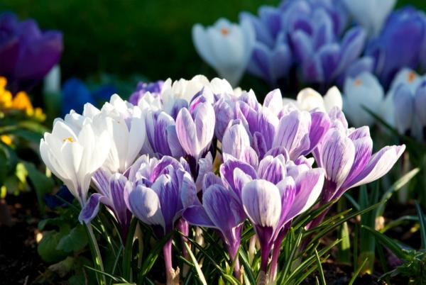 krokus-in-lila-frühlingsblume--