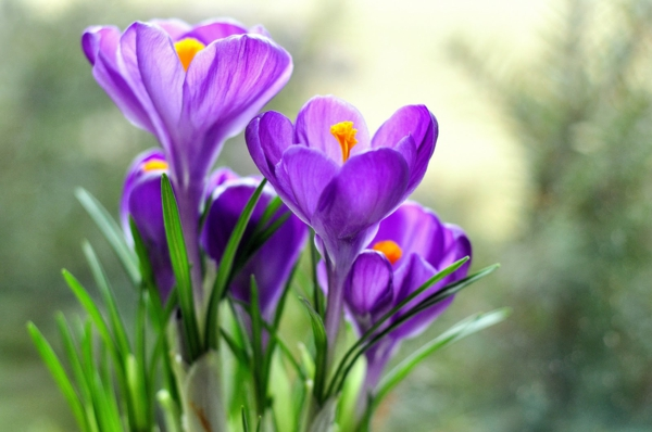 -krokus-in-lila-frühlingsblume-