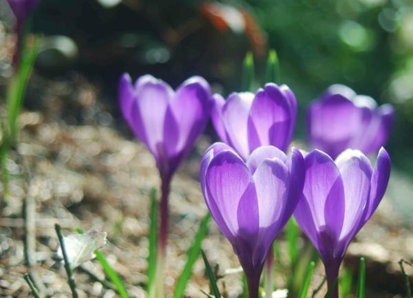 -krokus-in-lila-frühlingsblume--