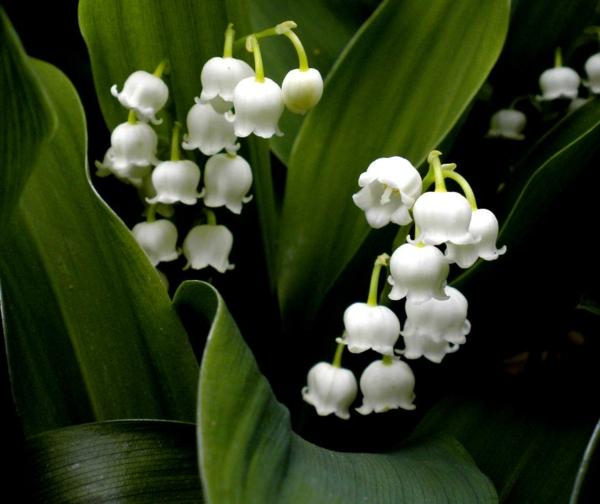lily-of-the-valley-bilder-frühlingsblumen-maiglöckchen-im-garten