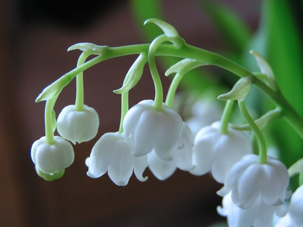 lily-of-valley-inspirierende-fotos-von-frühlingsblumen