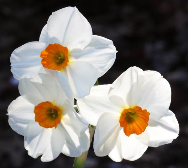 narzisse-gartenpflanzen-deko-für-den-garten-frühlingsblumen-weiß-und-orange