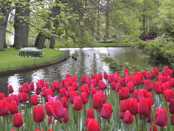 naturbilder-tulpen-pflanzen-die-tulpe-tulpen-aus-amsterdam-tulpen-bilder-tulpen-kaufen