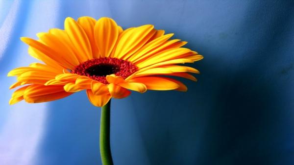 orange--zimmerpflanzen-gerbera-mehrere-farben-blumen-für-zuhause