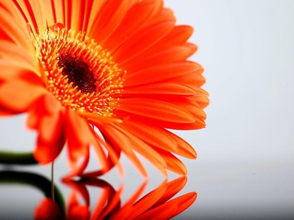 -orange-zimmerpflanzen-gerbera-mehrere-farben-blumen-für-zuhause