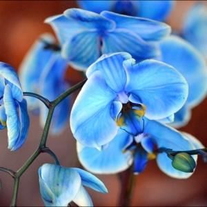 Blaue Orchidee - wunderschöne Blume in Blau