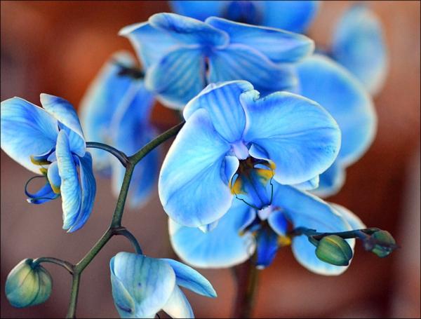 orchidee-pflege-orhideen-kaufen-blaue-orchideen